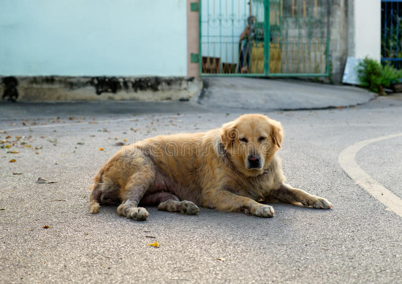 Menzogne scabbiosa rognosa di golden retriever del cane sola fotografia stock libera da diritti