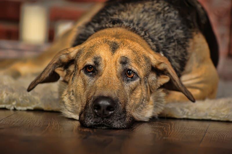 Menzogne triste del cane fotografia stock libera da diritti