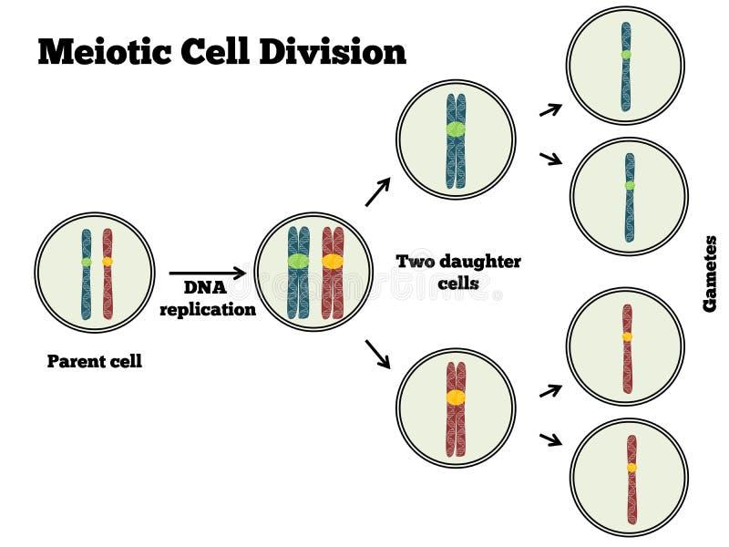 Meotic celluppdelning vektor illustrationer