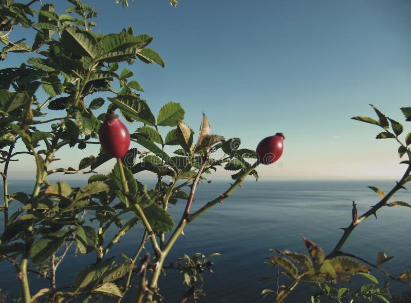 Mer baltique et cynorrhodons photos libres de droits