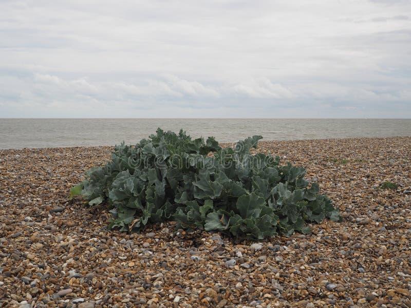 Mer-chou frisé vert s'élevant sur une plage de bardeau de caillou à la côte photographie stock libre de droits