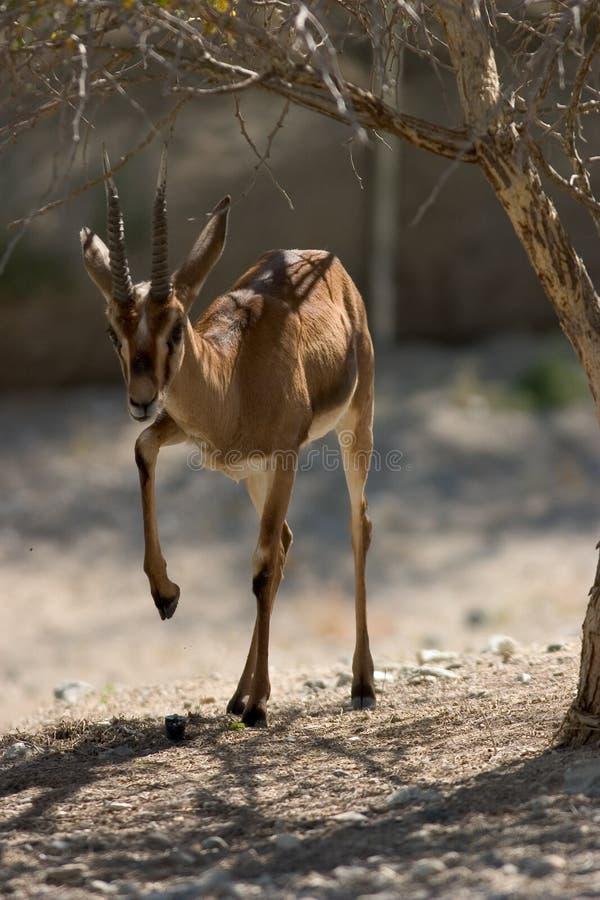 Download Mer cuvier gazelle s arkivfoto. Bild av wild, fint, angus - 285398