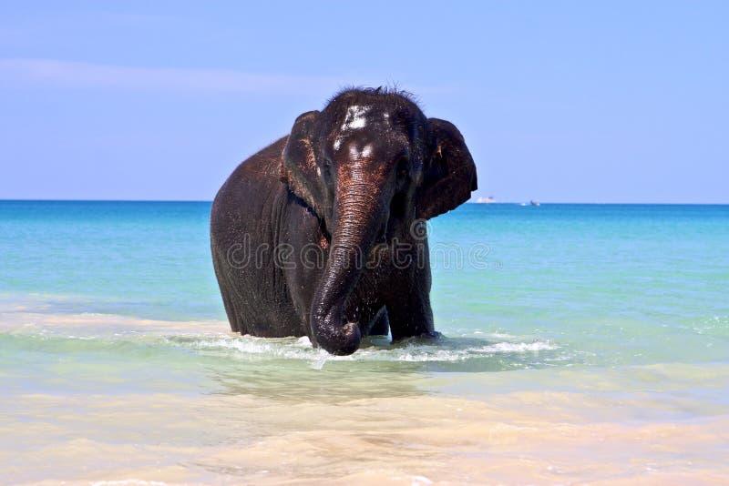 mer d'éléphant photos stock