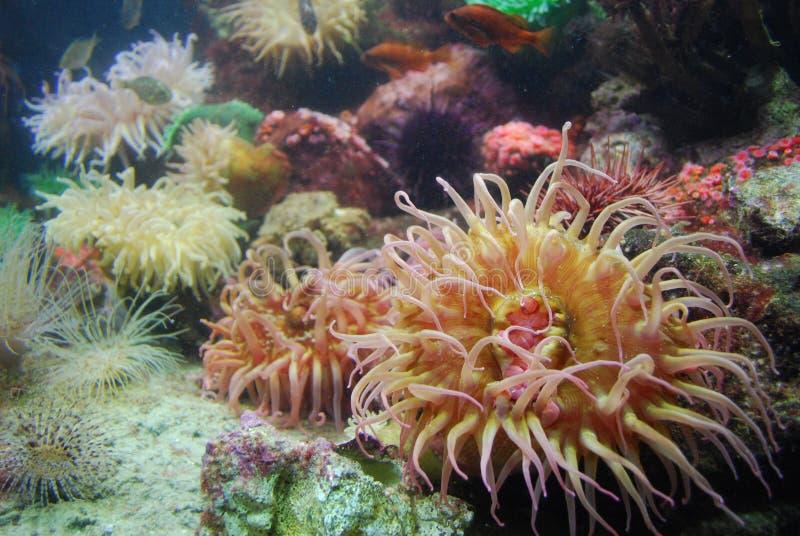 mer d'anémones photographie stock libre de droits