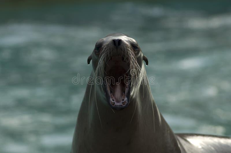 mer d'hurlement de lion de la Californie images stock