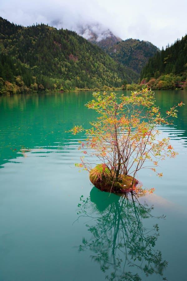 Mer de bambous de flèche de Jiuzhaigou images stock