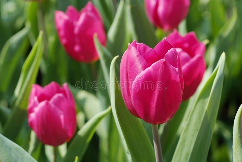 Mer de tulipe photographie stock libre de droits