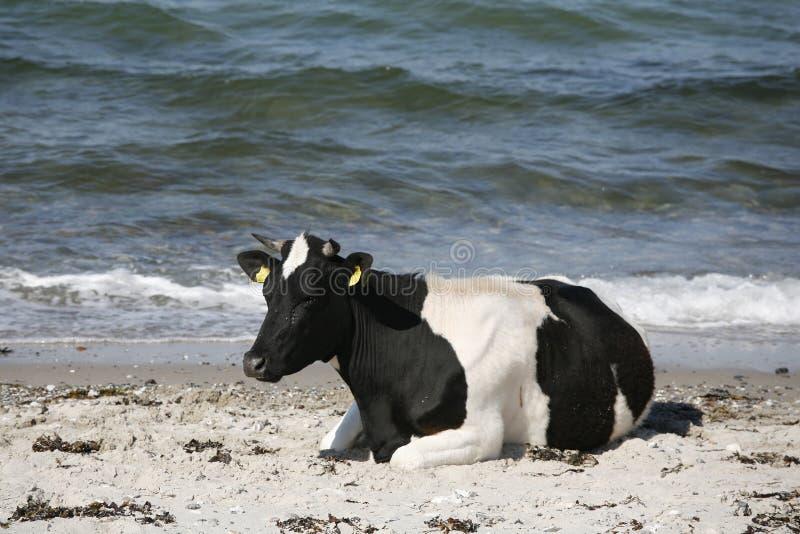 mer de vache photo stock