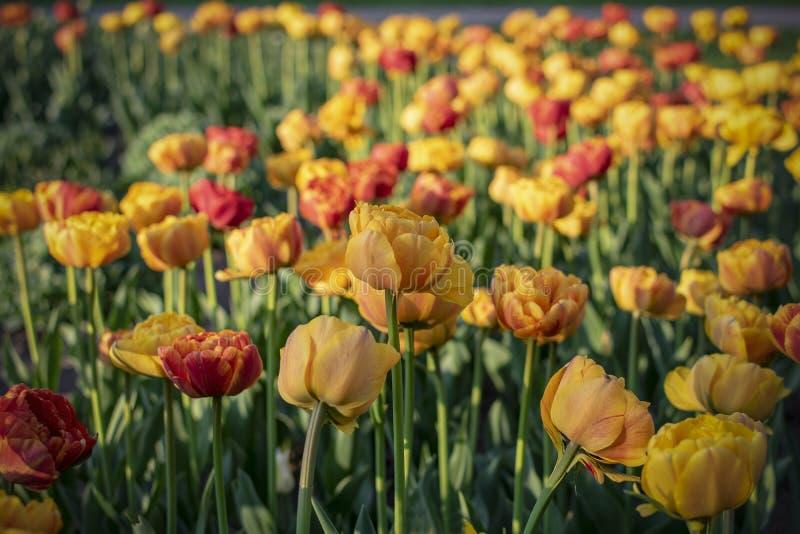 Mer des tulipes rouge-oranges de ‹d'†de ‹d'†image libre de droits