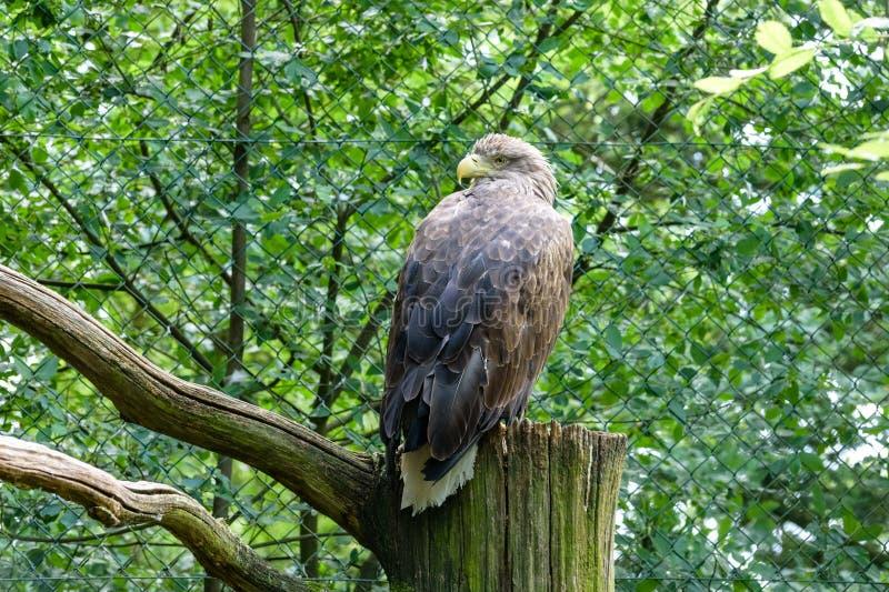 Mer-Eagle Blanc-coupé la queue Eagle de la pluie, aigle gris de mer, erne, aigle gris en parc d'oiseau image libre de droits