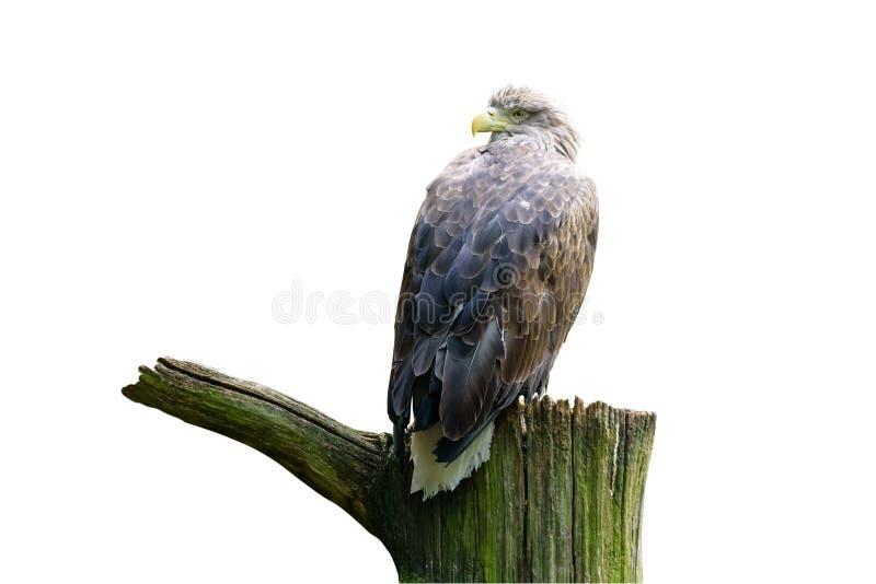 Mer-Eagle Blanc-coupé la queue Eagle de la pluie, aigle gris de mer, erne, aigle gris en parc d'oiseau D'isolement image libre de droits