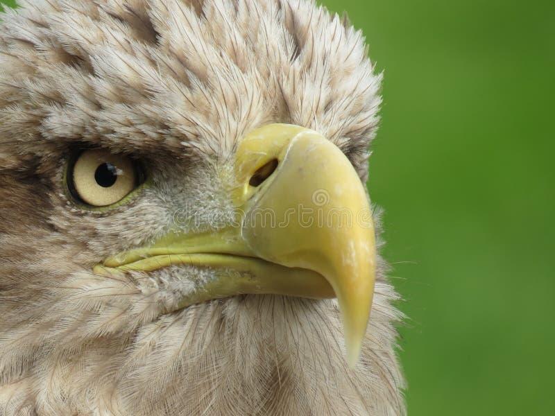 Mer Eagle coupée la queue par blanc photographie stock