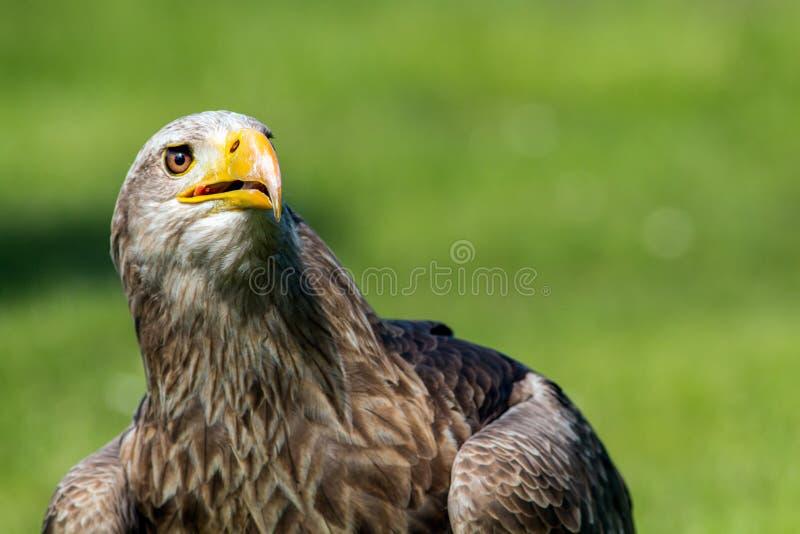 Mer Eagle coupée la queue par blanc images stock