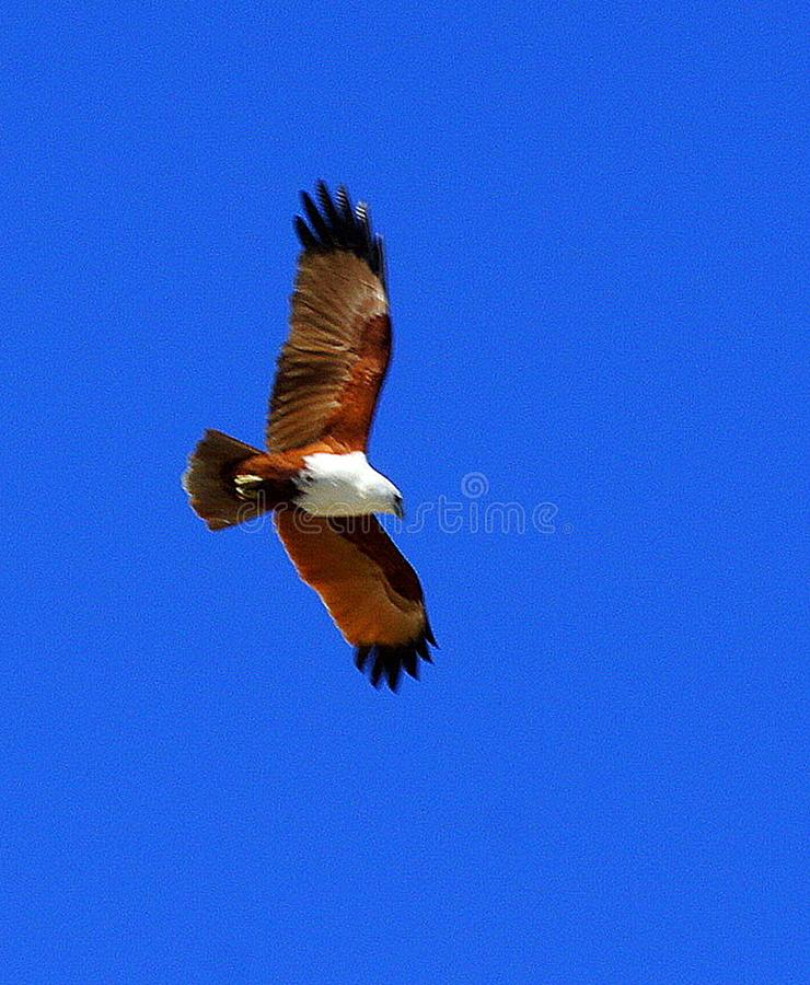 Mer Eagle de Brown en vol photo libre de droits