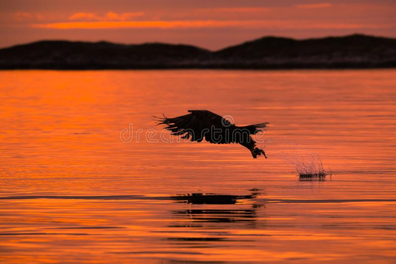 Mer Eagle de chasse photos libres de droits