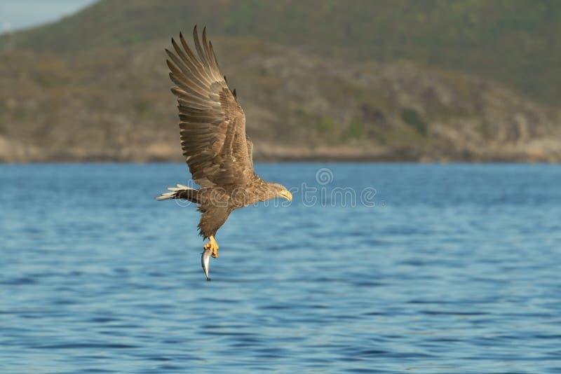 Mer Eagle de chasse photos stock