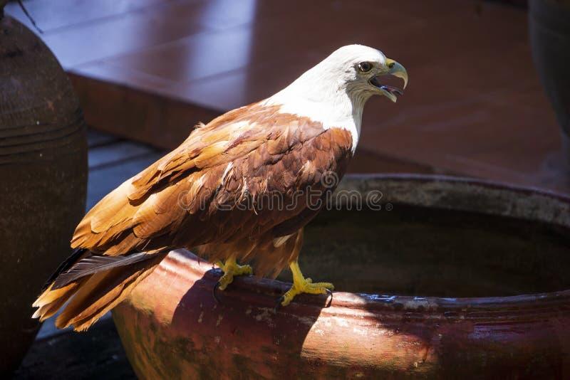 Mer Eagle se reposant sur un pot, baie de Phang Nga, Tha?lande images libres de droits
