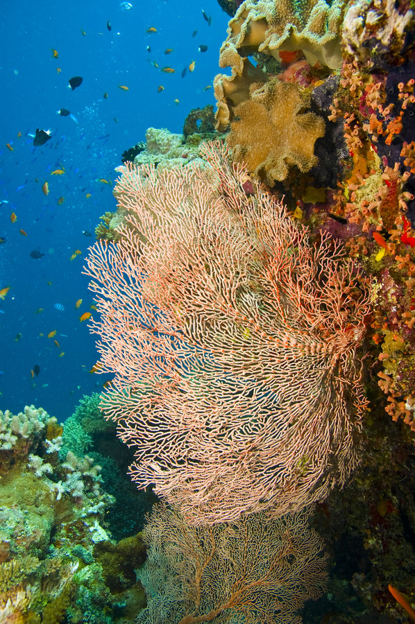 mer gorgonian de ventilateur grande photographie stock