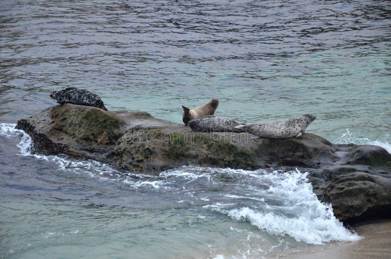 Mer Lion Family s'asseyant sur la plage de La Jolla de roches, San Diego photos libres de droits