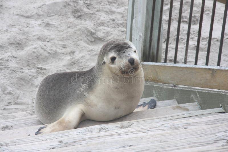 Mer Lion Pup à l'île de kangourou photos libres de droits