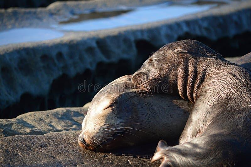 Mer Lion Pup Sleeping de bébé sur la tête de mères photos libres de droits