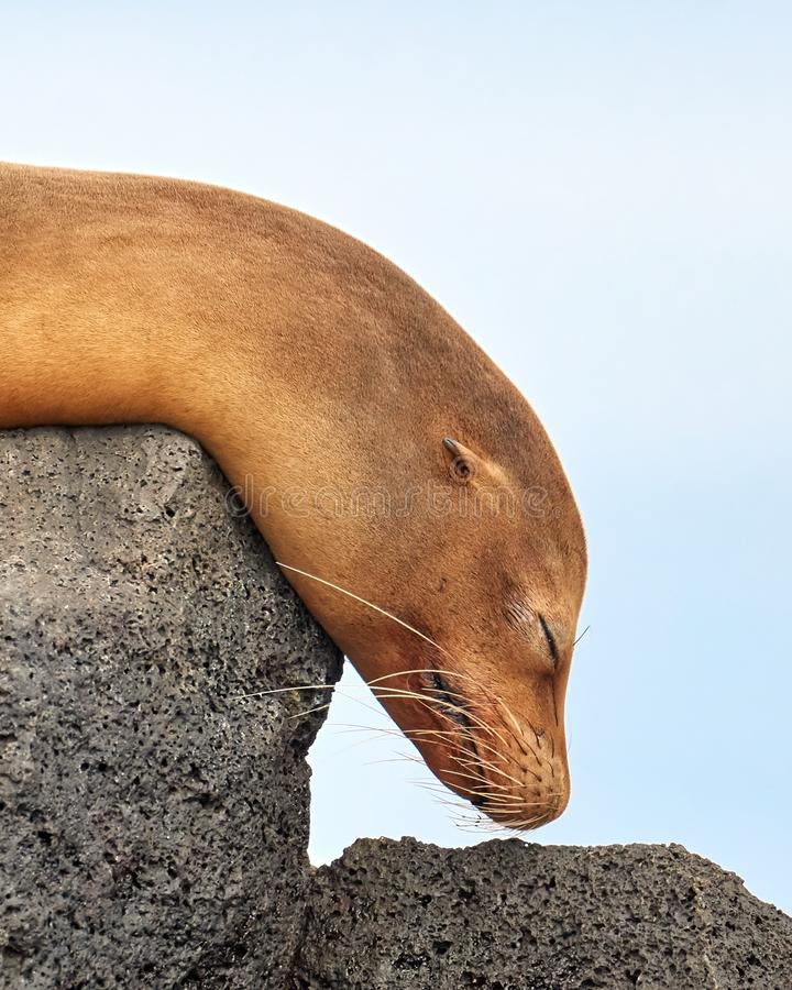 Mer Lion Sleeping avec la tête sur l'escalier de roche image stock
