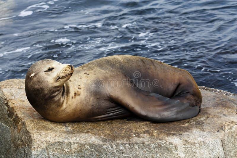 Mer Lion Sunning On Rock Monterey la Californie photographie stock