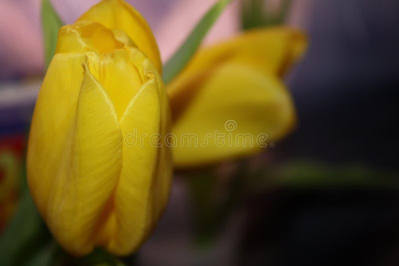 Mer nära blick till skönheten av blommatulpan arkivfoto
