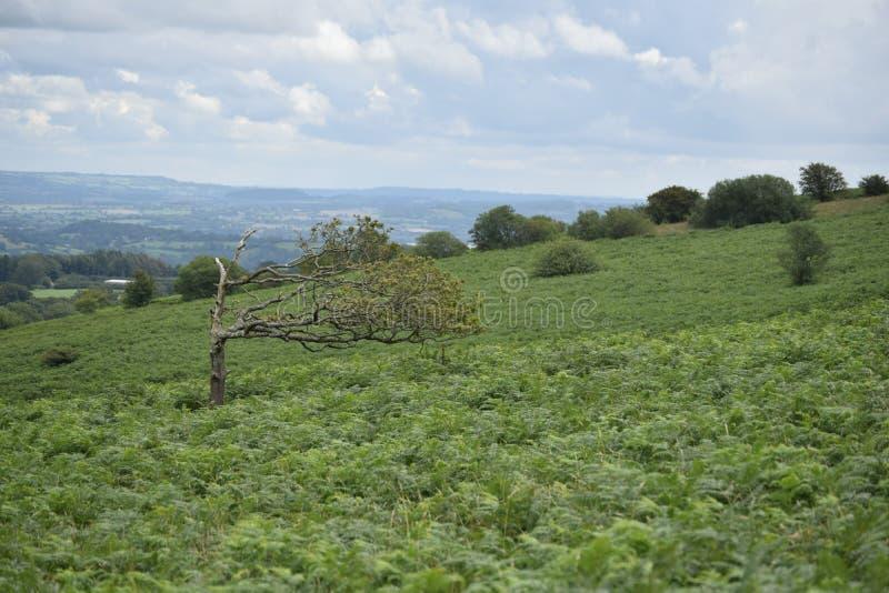 Mer nära sikt av ett windblown träd, Mendip kullar royaltyfri fotografi