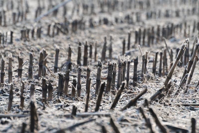 Mer nära sikt av fältet av havreskäggstubb som täckas i rimfrost i vinter arkivbild