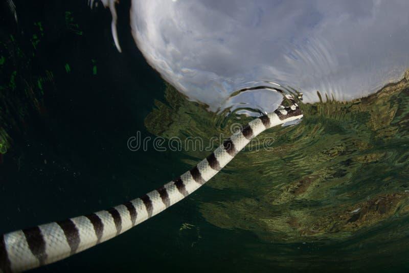 Mer réunie Krait respirant sur la surface de la mer photographie stock libre de droits