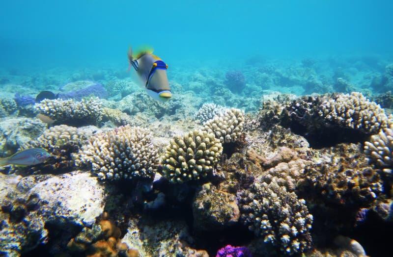 mer rouge dure de corail de récif photo libre de droits