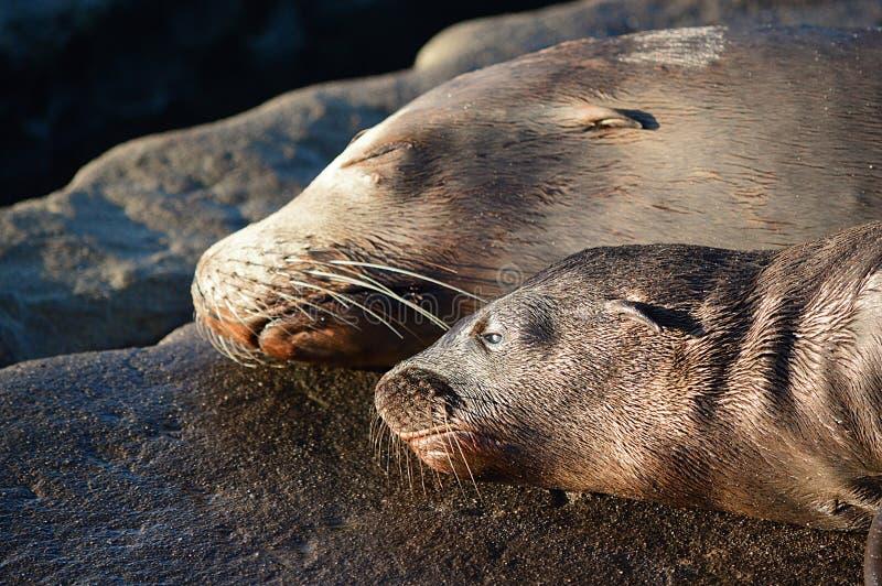 Mer sauvage Lion Mother et chiot étendant ensemble le sommeil côte à côte portrait images stock