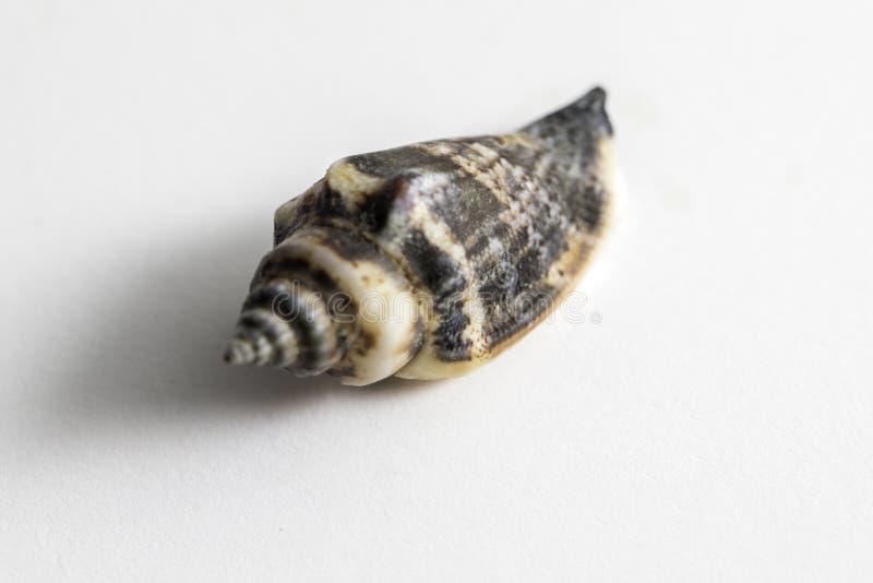 Mer Shell de conque image stock