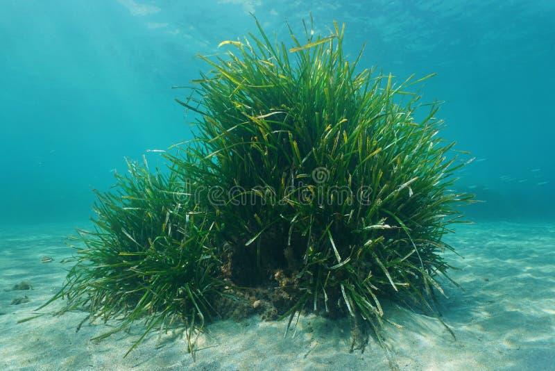 Mer sous-marine d'herbe de Neptune d'oceanica de Posidonia image stock