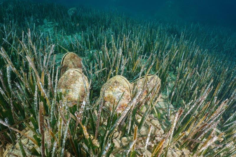 Mer sous-marine de coquille noble de stylo de plusieurs mollusques images stock