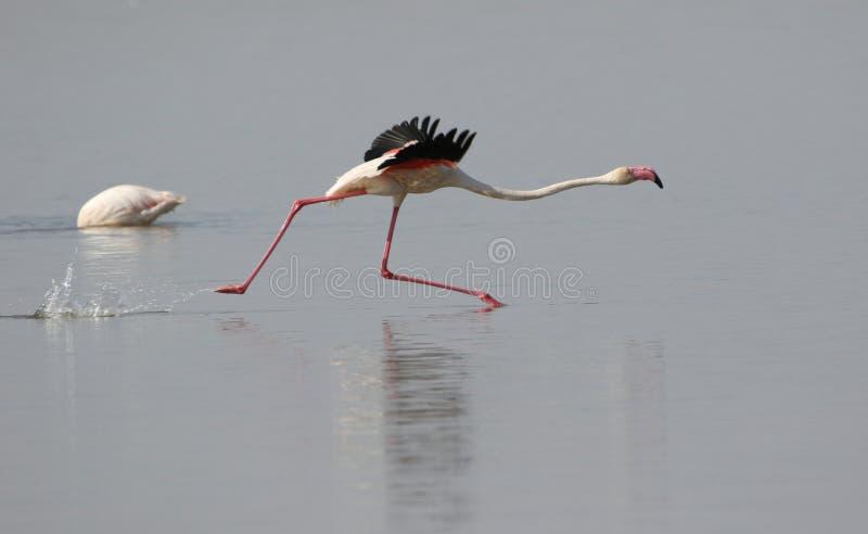 mer stor flamingo arkivfoton