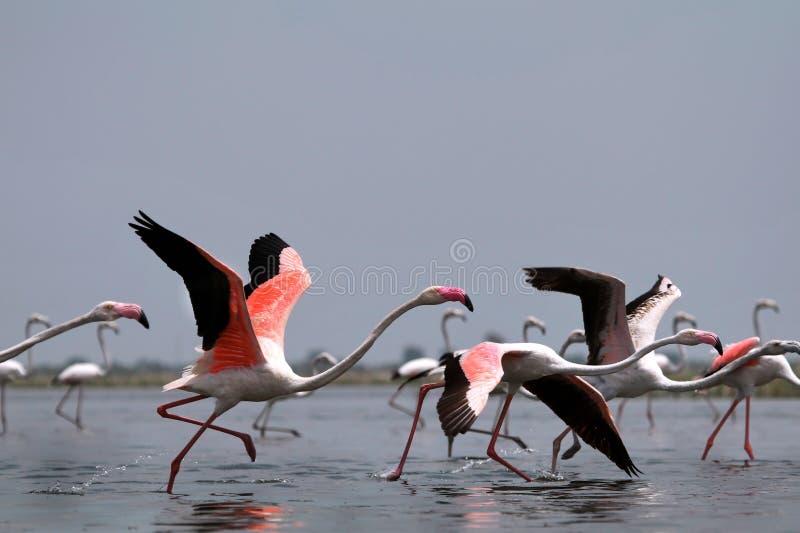 mer stor flamingo royaltyfri bild