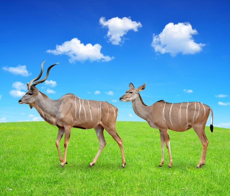 mer stor kudu royaltyfri fotografi
