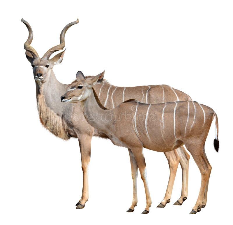 mer stor kudu royaltyfria foton