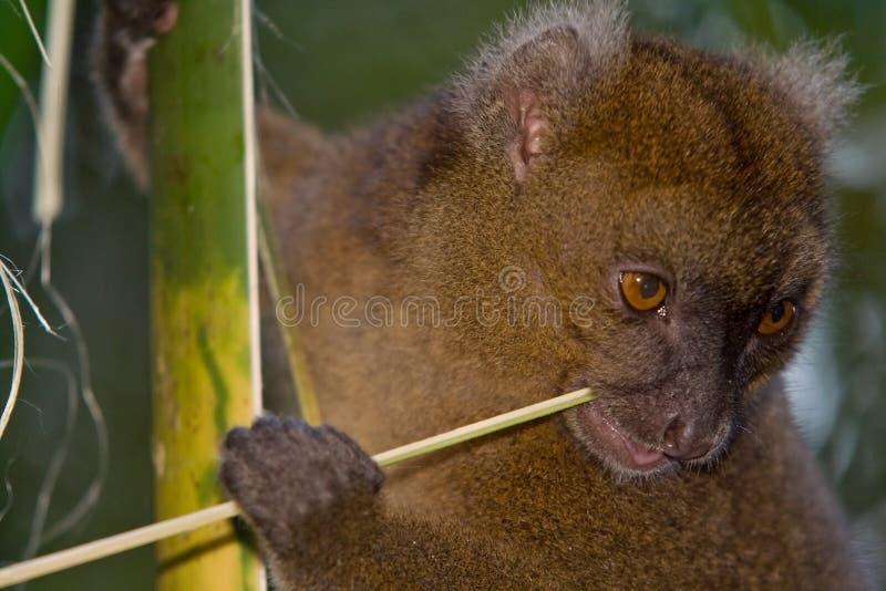 mer stor lemur för bambu arkivbild