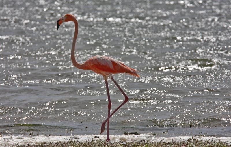 mer stor phoenicoterusgummi för flamingo royaltyfria bilder