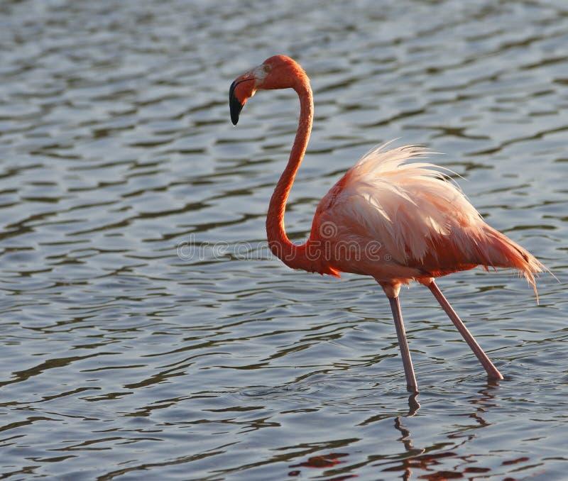 mer stor phoenicoterusgummi för flamingo arkivbild