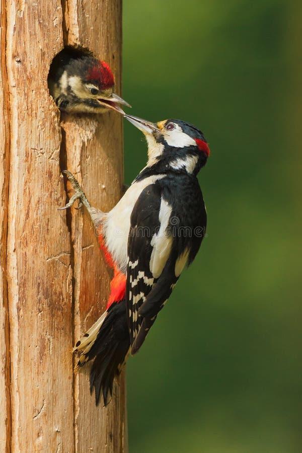 Mer stor prickig hackspett med fågelungen royaltyfri fotografi