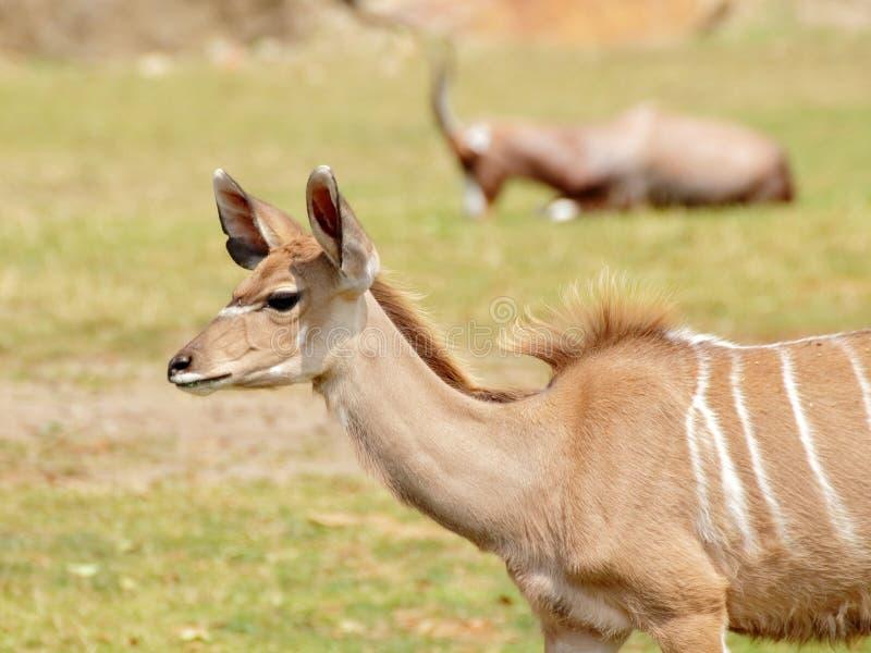 Mer stor stående för kudu (Tragelaphusstrepsiceros) royaltyfria foton