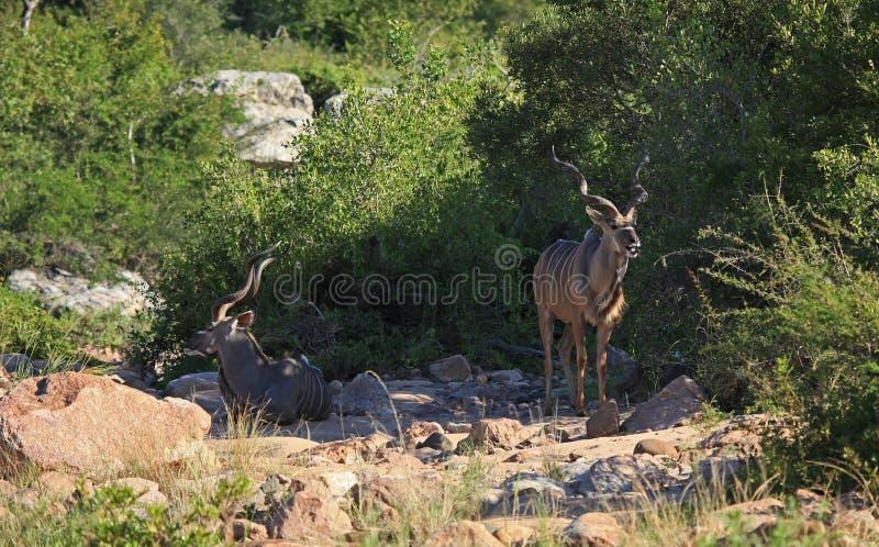 Greter Kudu i den Kruger nationalparken royaltyfria foton
