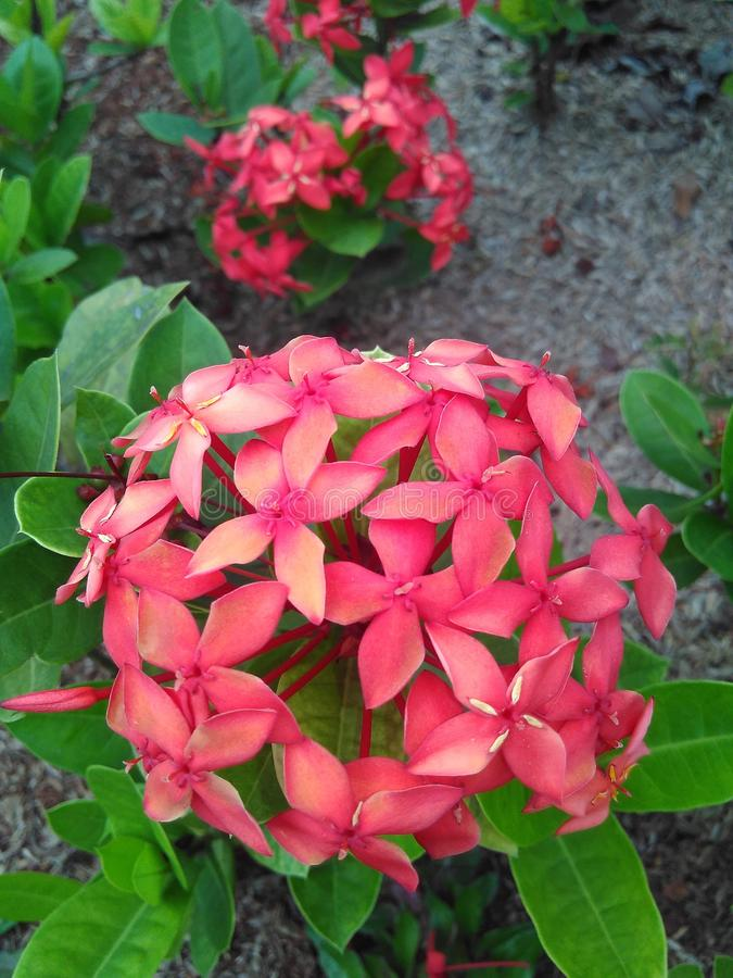 Merah di Bunga fotografia stock libera da diritti
