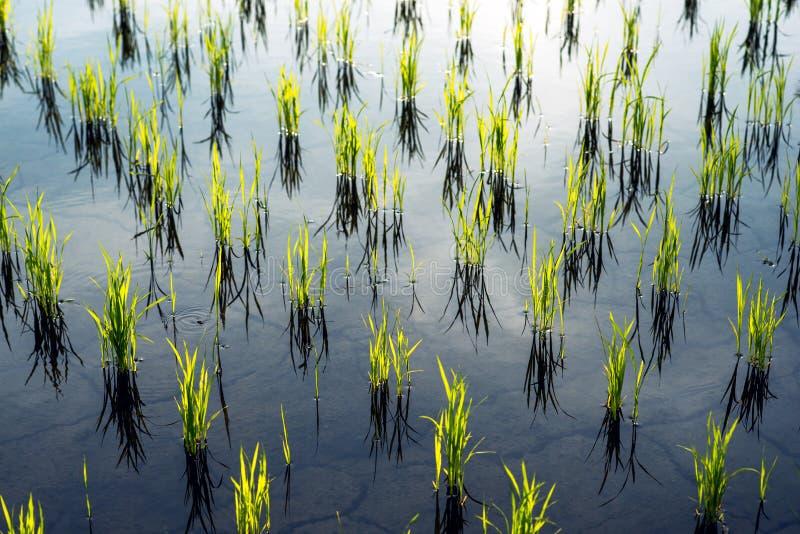 Meraviglie dei terrazzi del riso della natura e di giovani piante di riso fotografie stock libere da diritti
