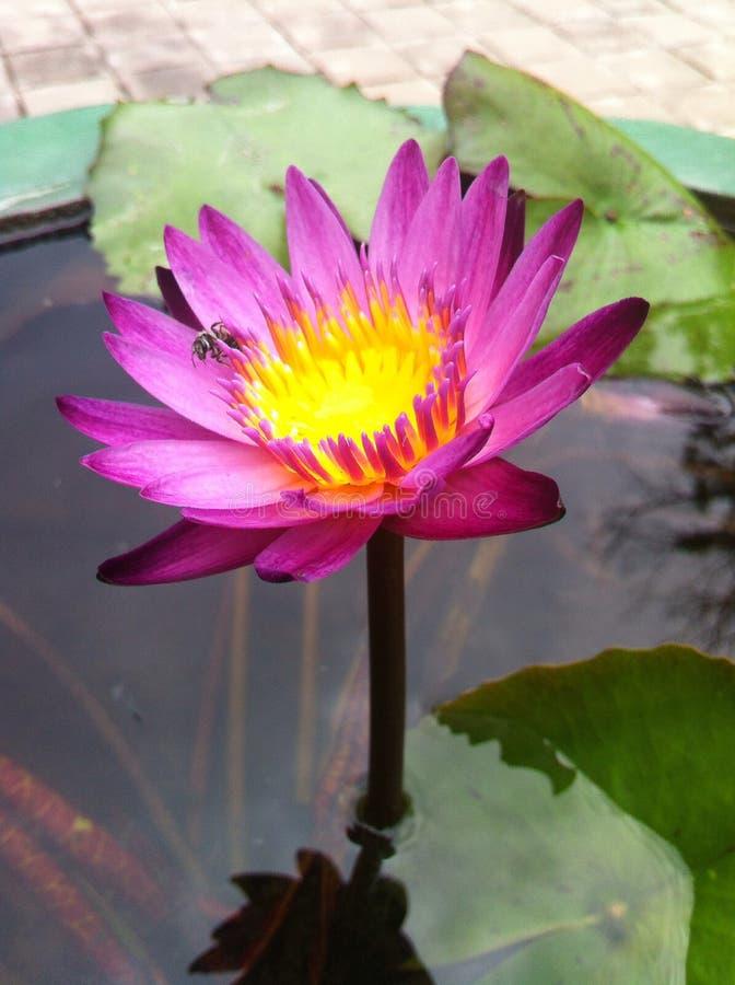 Meravigliosamente il fiore di loto fotografia stock