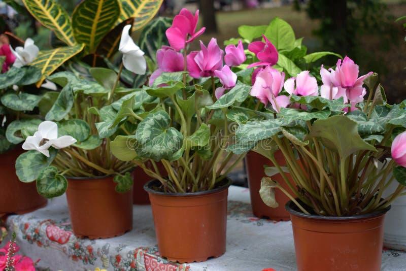Mercado da flor da rua, loja com as várias flores em uns potenciômetros O cíclame de florescência do rosa e o branco floresce em  imagem de stock